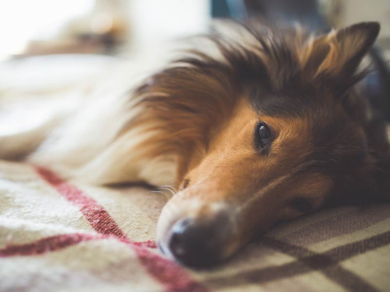Man's best friend at risk for dog flu
