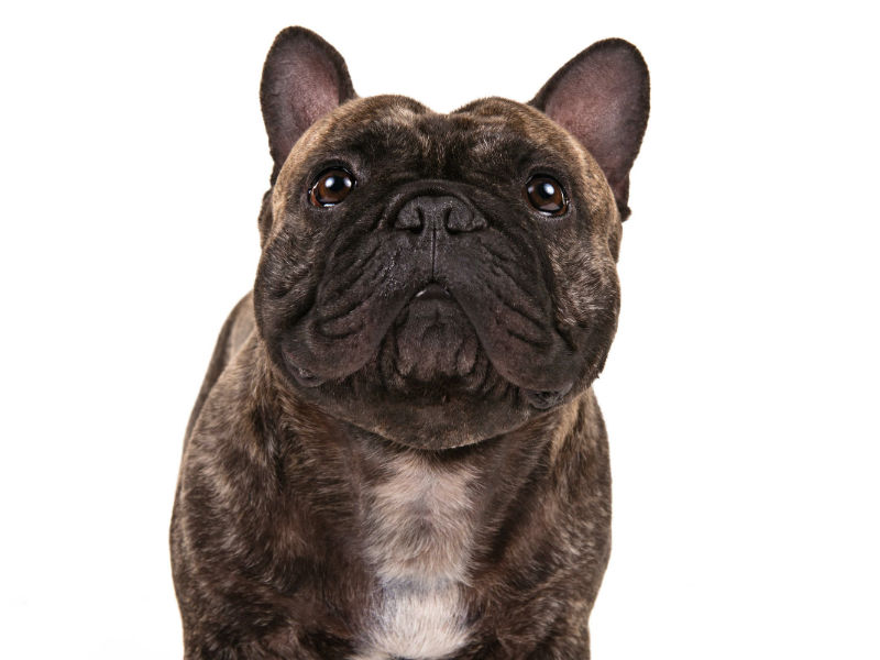 9 Things French Bulldog Owners Will Tell You About the Breed