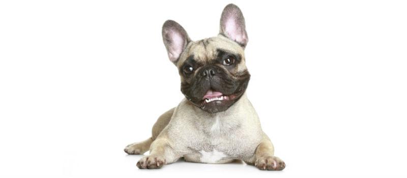 french bulldog header