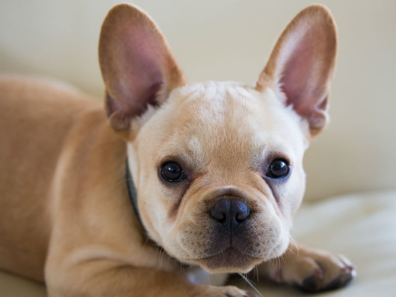 French Bulldog Reigns Supreme Once Again in New York City