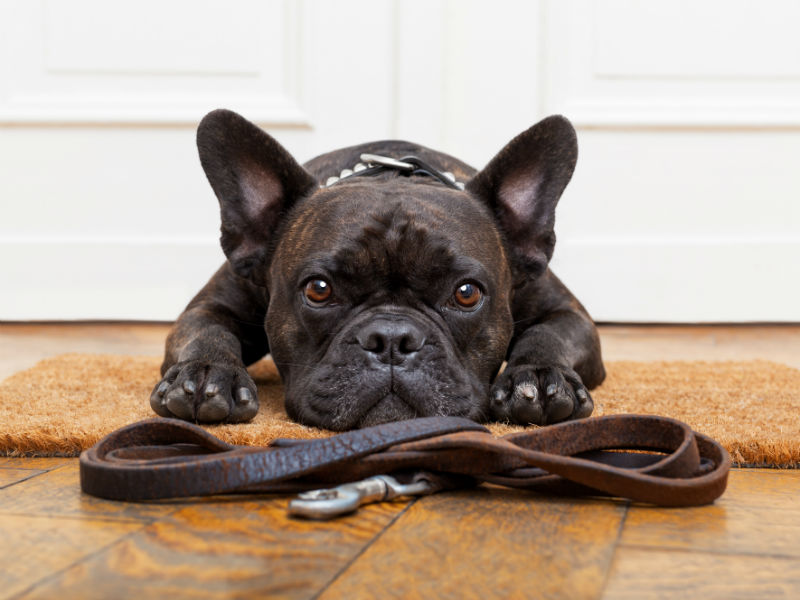 frenchbulldog_leash_header