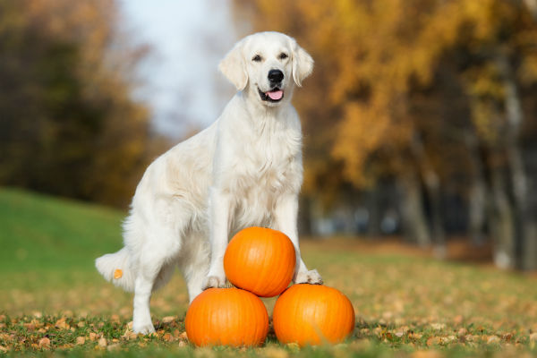 Share Your Love For Pumpkin With Your Dog This Fall