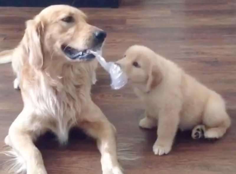 golden teases puppy