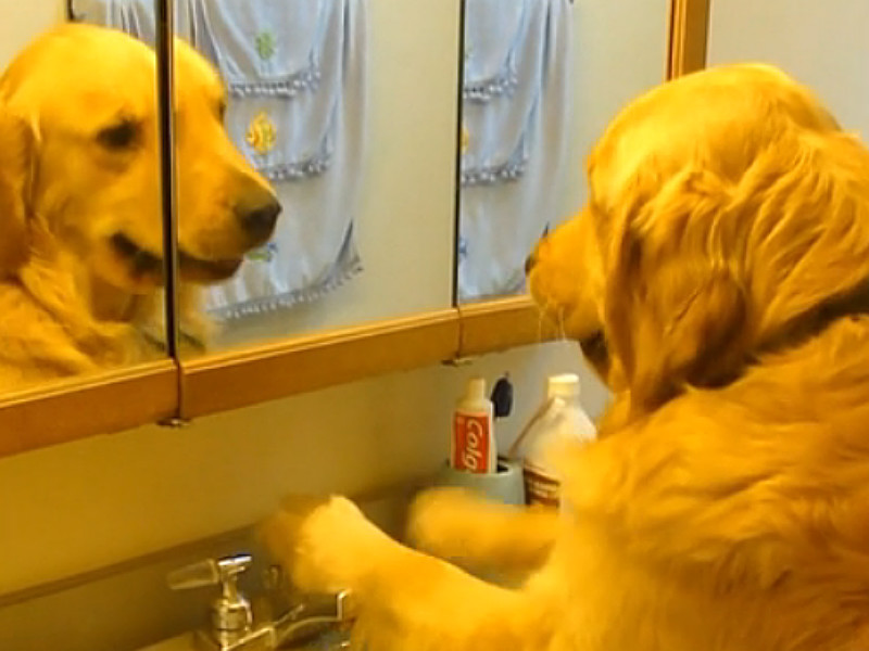 Super Smart Golden Can Turn On The Sink To Get A Drink