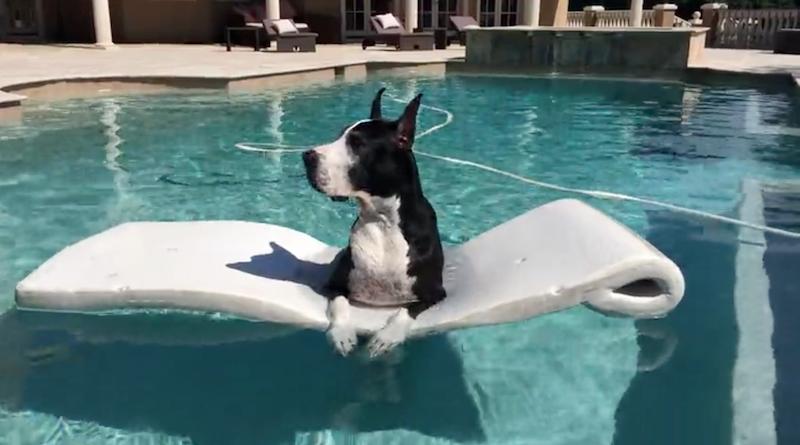 great dane in pool