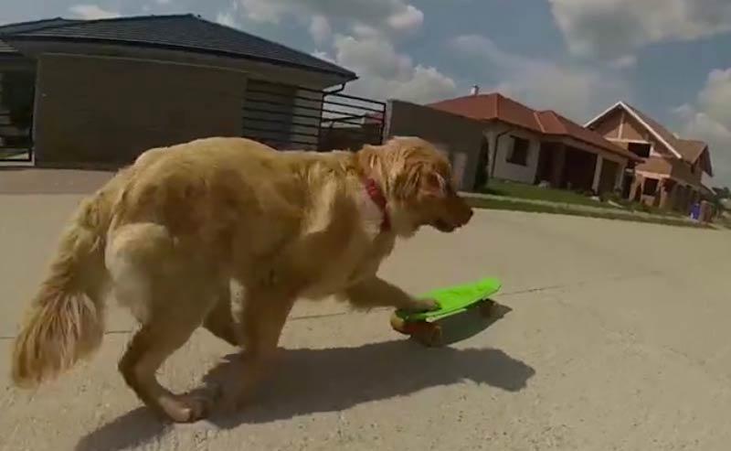 Happy the Golden Retriever skateboarding