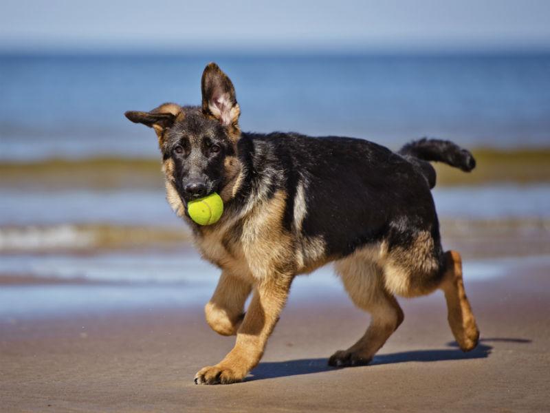 german shepherd with ball