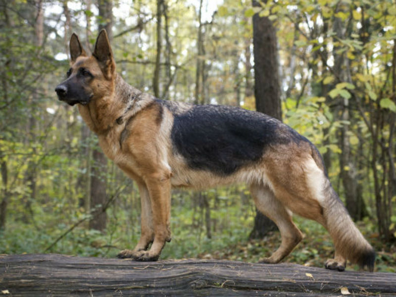 Billedresultat for german shepherd