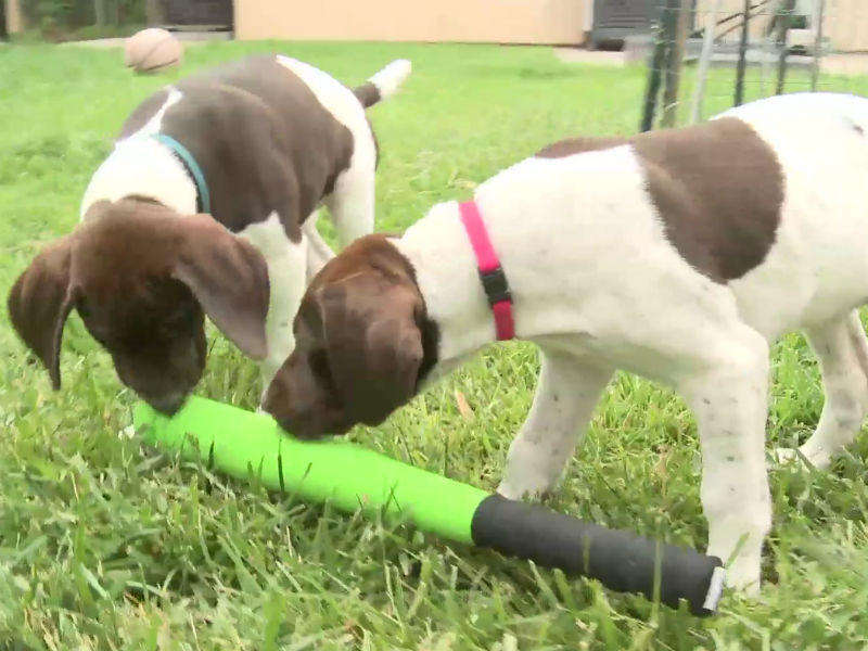 gsp puppies vs. baseball bat header