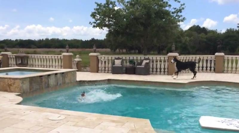 Great Dane & GSP having a pool party