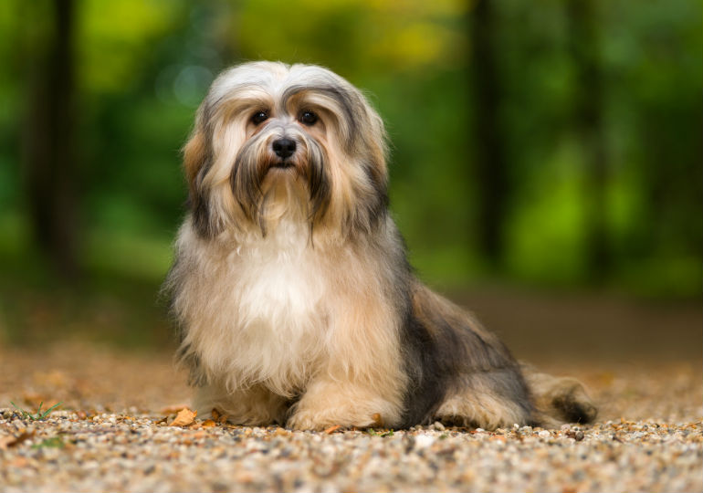 the charming funny and lovable havanese is impossible to resist