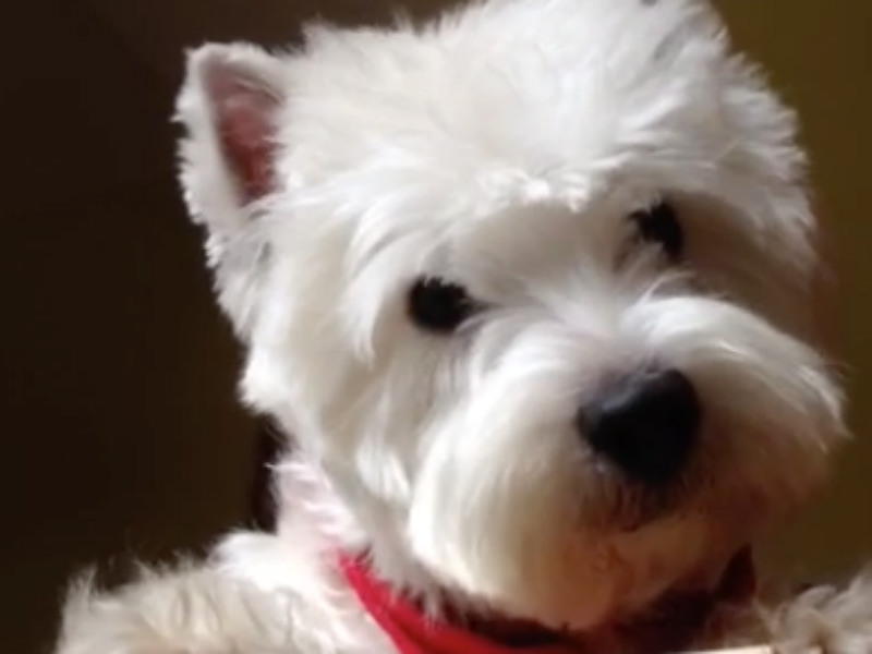 head tilting westie header