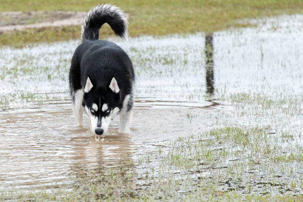 Can Unvaccinated Dogs Contaminate Drinking Water