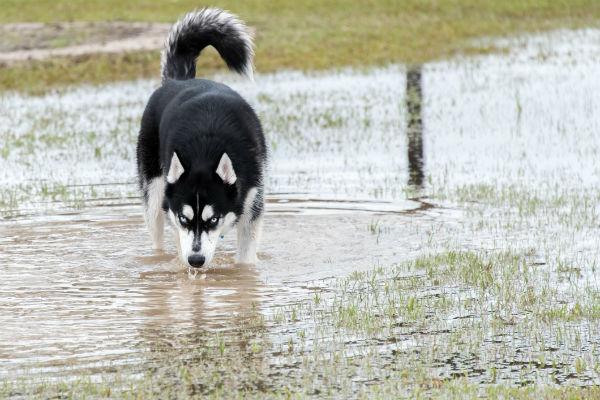 husky puddle