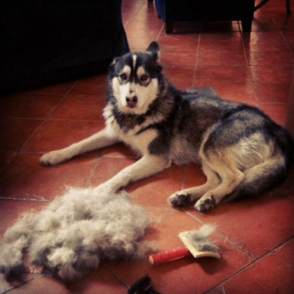for best sheds is the shedding dog brush what dogs top
