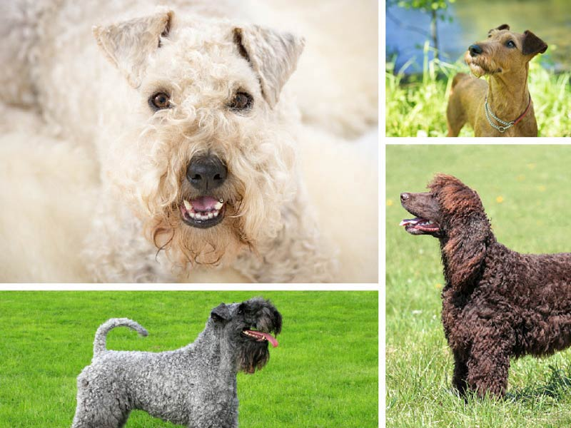 irish dogs header