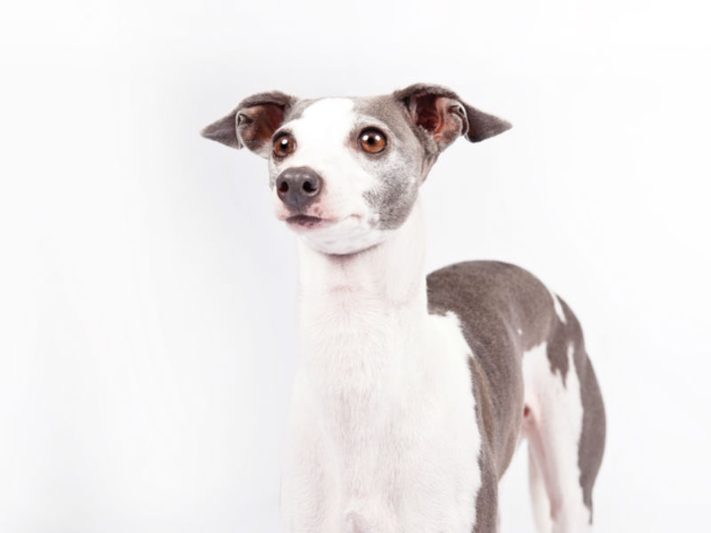 italian greyhound header