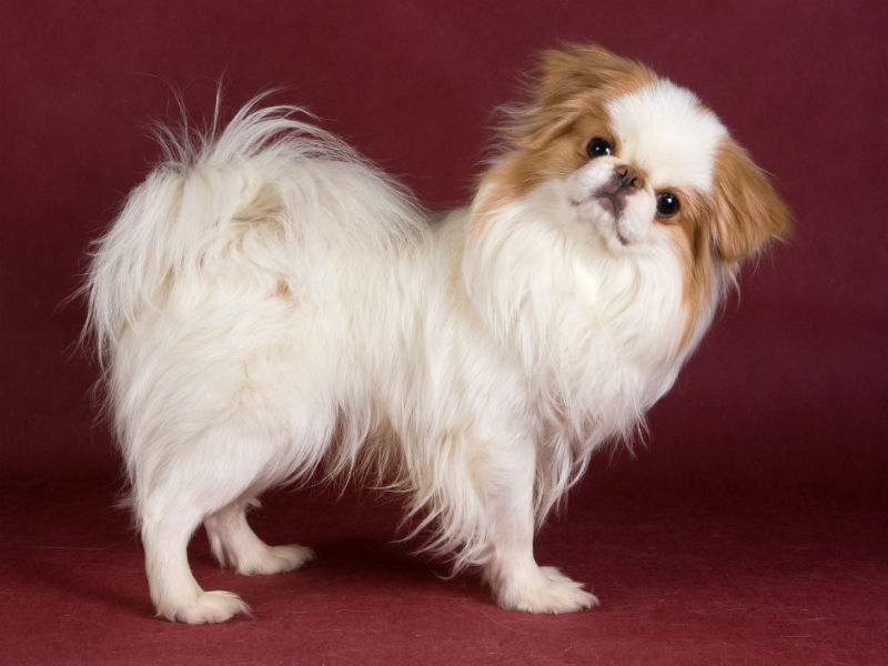The Japanese Chin Is An Aristocratic And Playful Little Companion