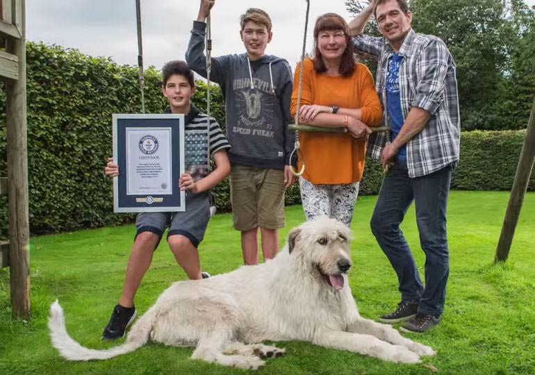 Irish Wolfhound Secures Incredible Guinness World Record
