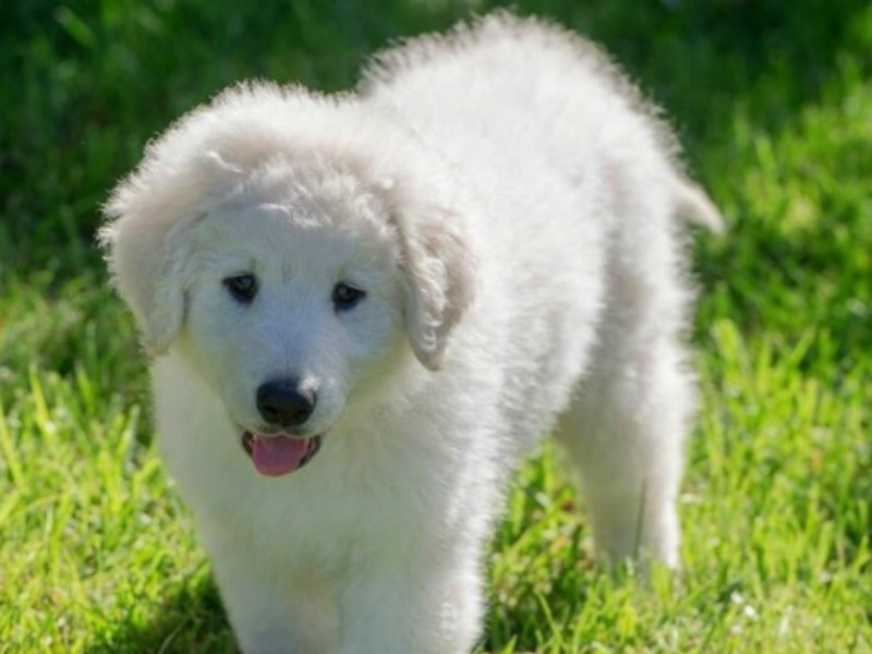 5 Things You Didnt Know About The Kuvasz American Kennel Club
