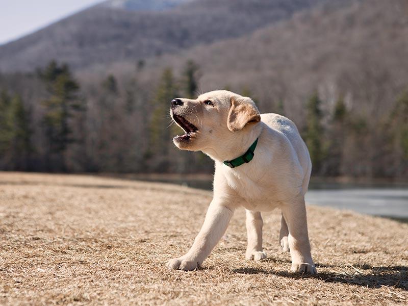 lab-puppy-bark-header