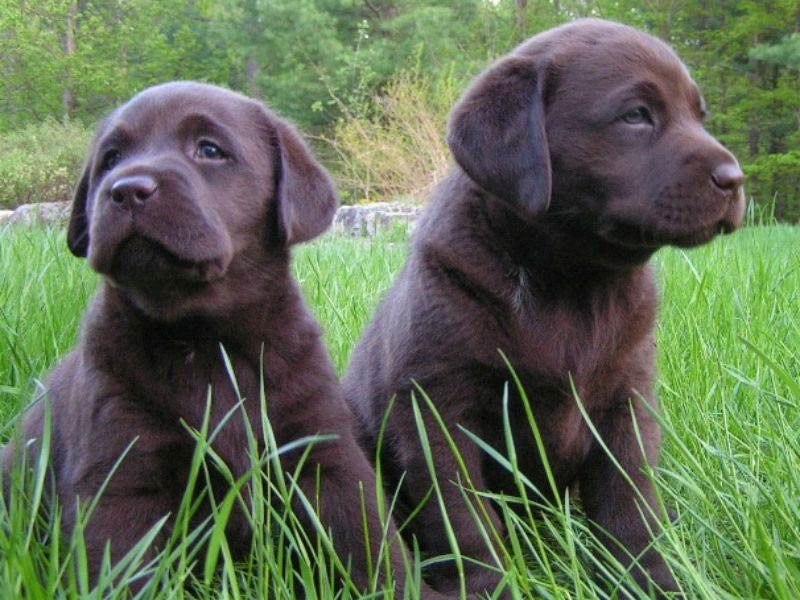 Labrador Retriever Leads The Pack As Most Popular For 26Th Year
