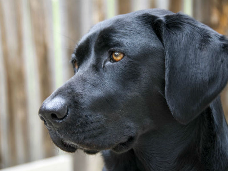 Labrador Retriever Is Still the Most Popular Dog Breed in America