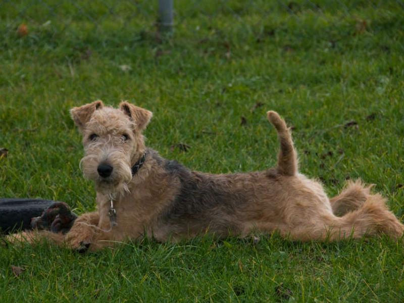 lakeland terrier header