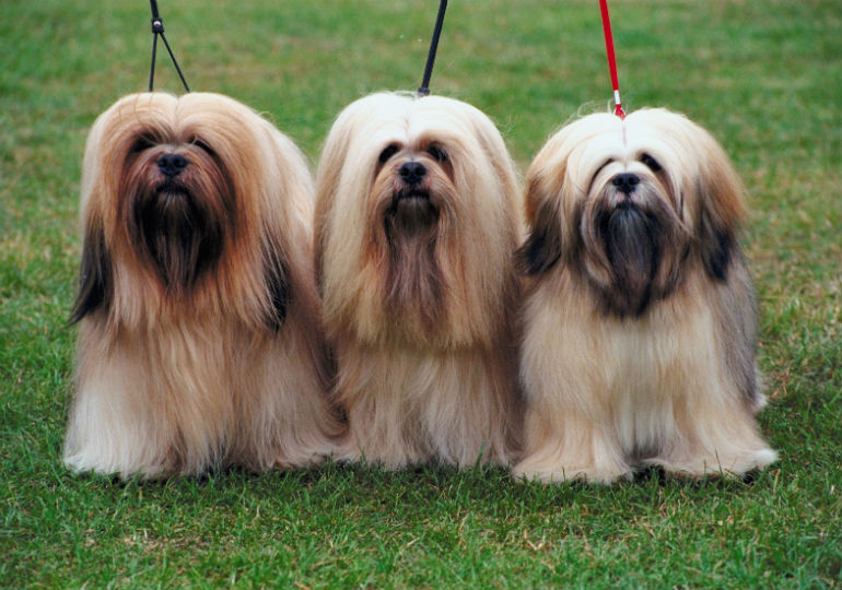 lhaso apso header