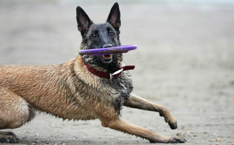 belgian malinois workout header