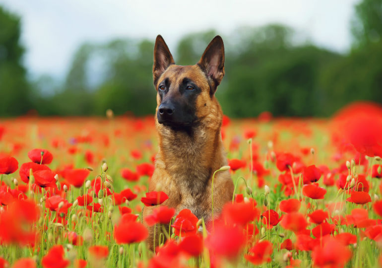 Interesting Facts You Didn't Know About the Belgian Malinois