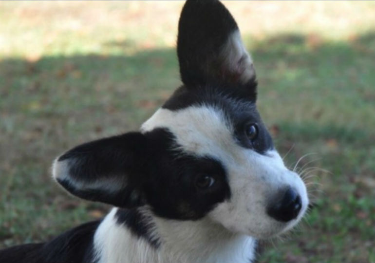 19 Herding Group Puppies On AKC Marketplace You'll Be Unable To Resist