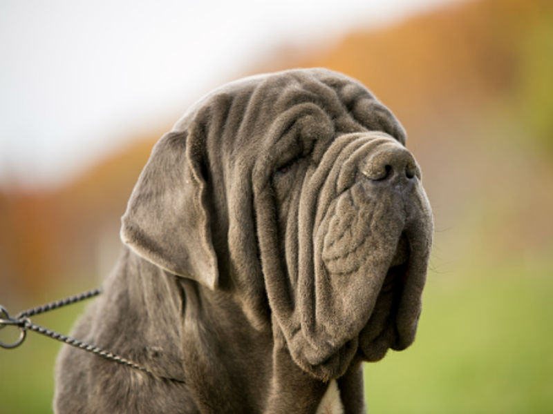 Mastiff Dog Breed Information, Pictures, Characteristics & Facts ...