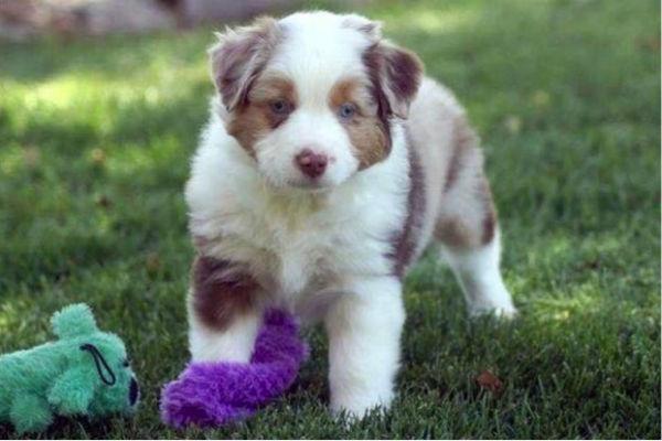 mini american puppy