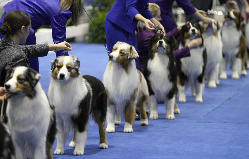 Akc Eukanuba Dog Show Results