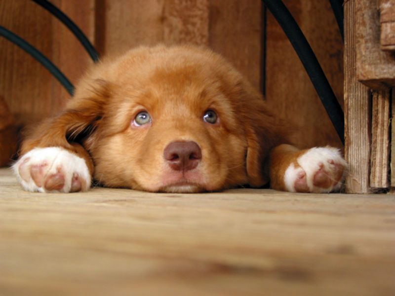 9 Things You Didn T Know About The Nova Scotia Duck Tolling Retriever