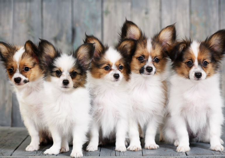 Papillon Dog Breed American Kennel Club