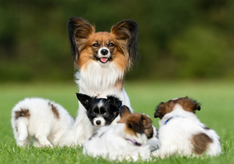 papillion puppies header