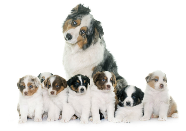 Discover Your Dog\'s Family Tree with an AKC-Certified Pedigree ...