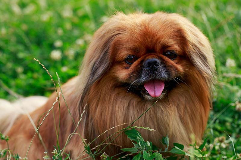 9 things you didn t know about the pekingese american kennel club