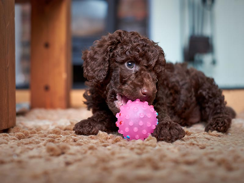 poodle-toy-header-og