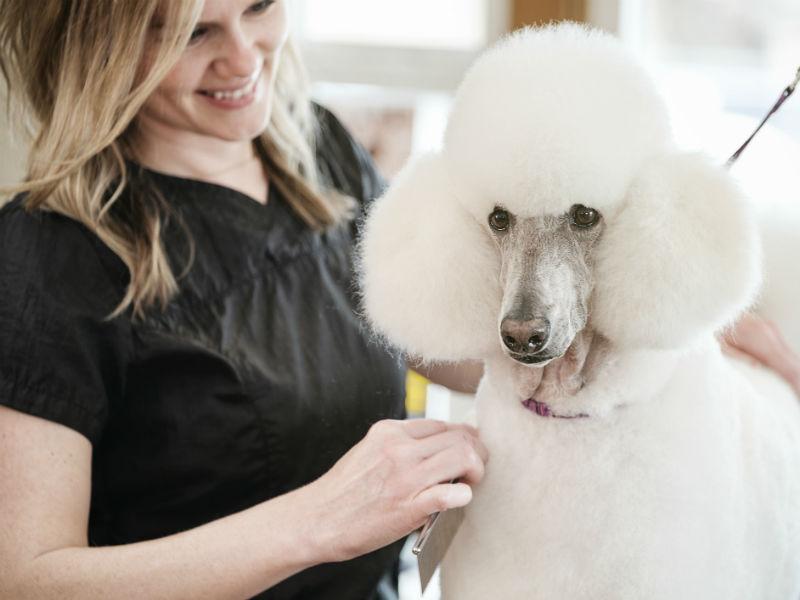 poodle grooming hero