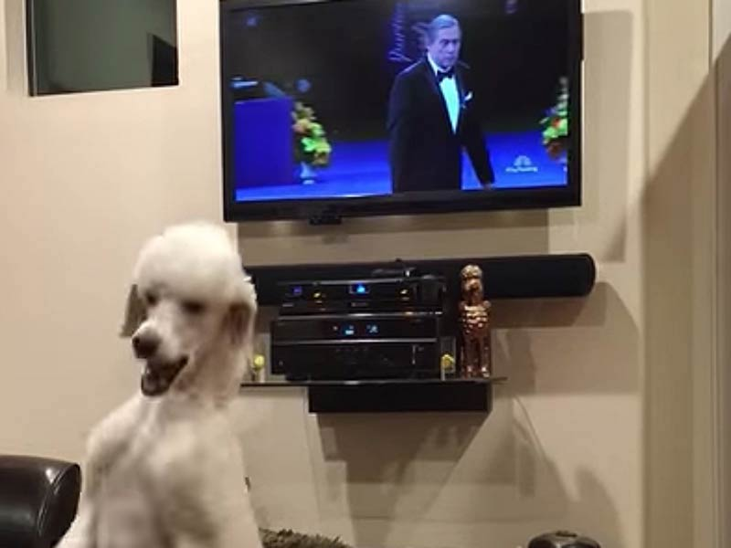 poodle watches tv header