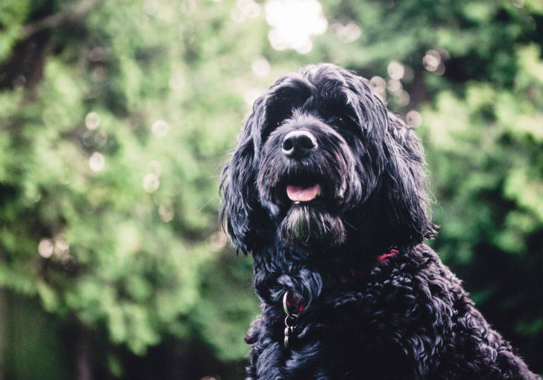 12 Ways The Portuguese Water Dog Is