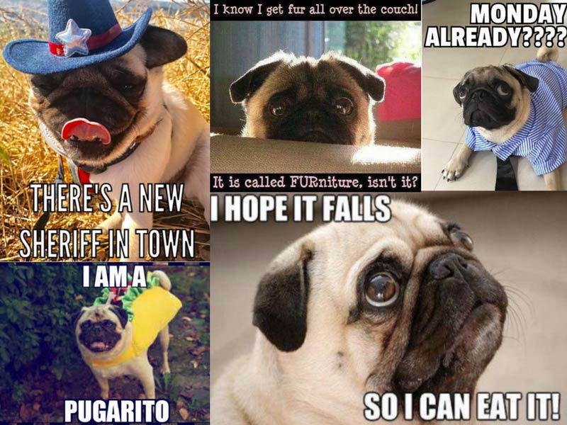 16 of the greatest pug memes on the internet american kennel club