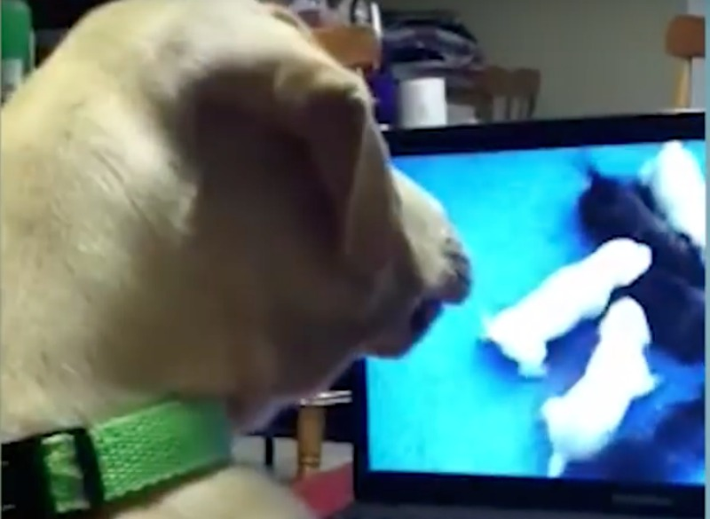 lab looking at puppy cam