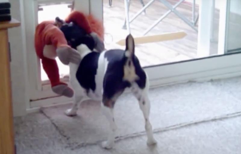 rat terrier doggie door