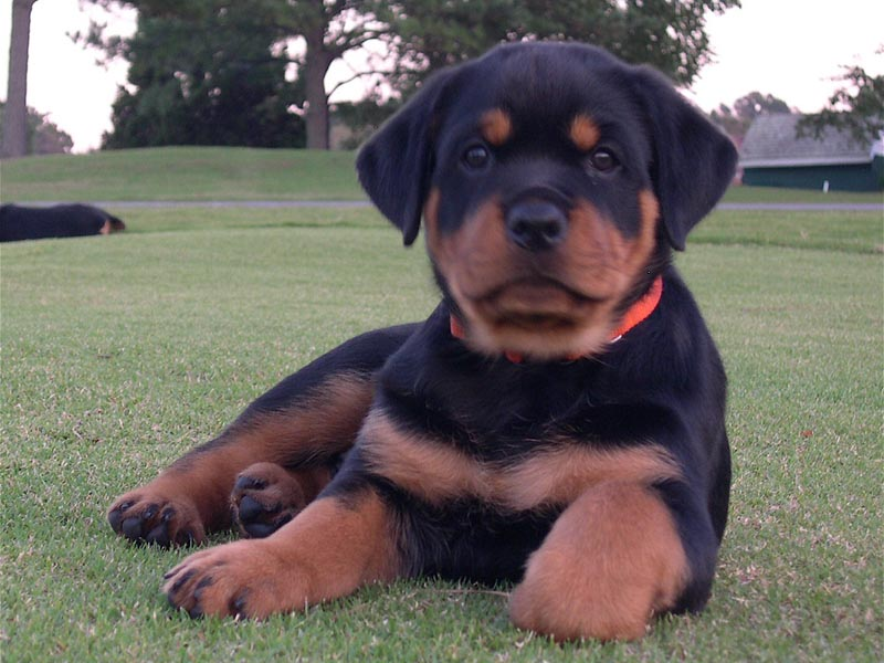 rottie puppy header