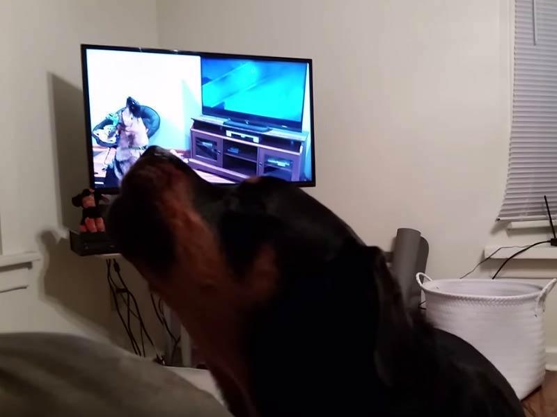rottweiler howling
