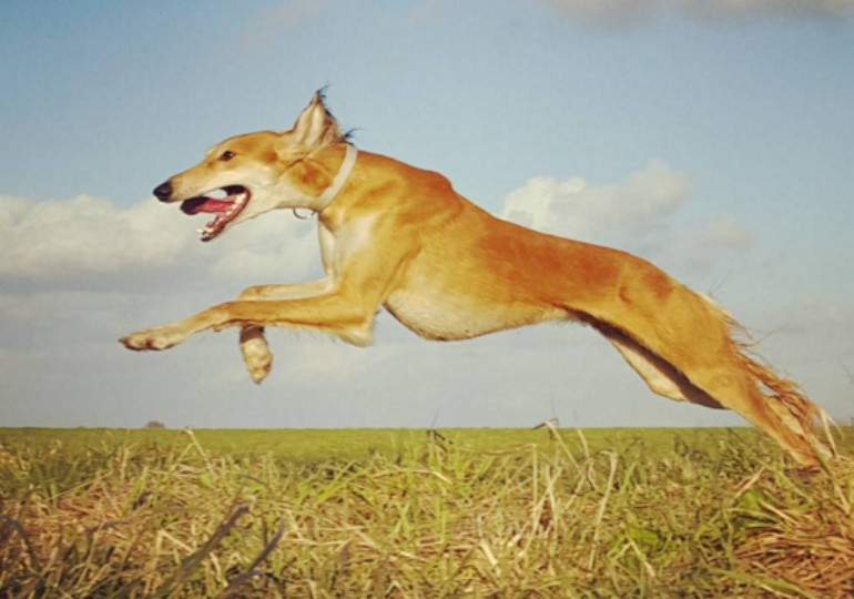 See The Unsurpassed Speed And Elegance Of The Saluki ...